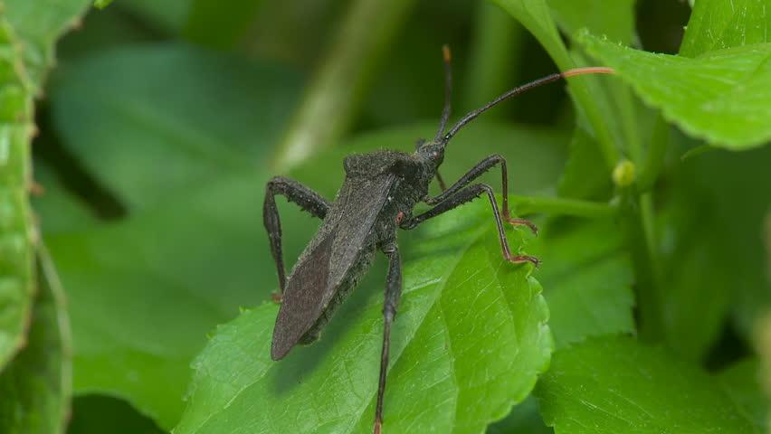 Header of Acanthocephala terminalis