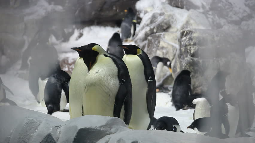 Emperor Penguins in an enclosed Habitat