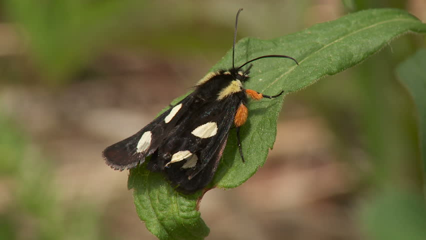 Header of Alypia octomaculata
