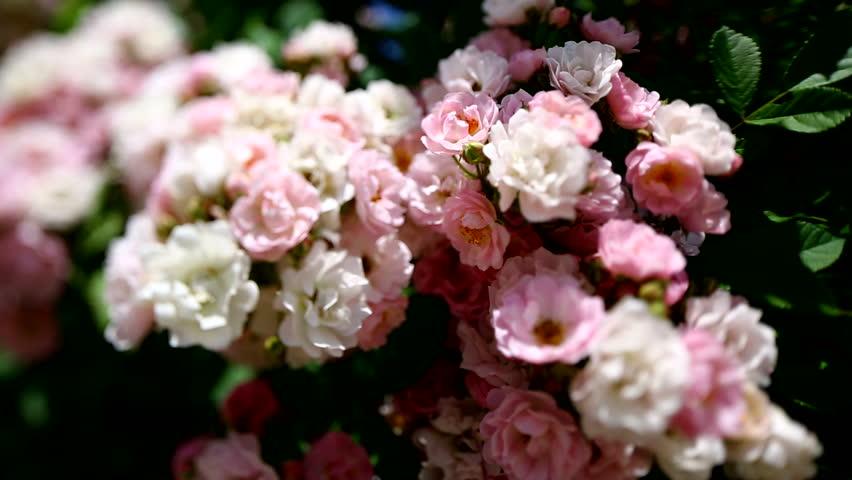 Dolly shot of dog rose bush with tilt and shift lens.