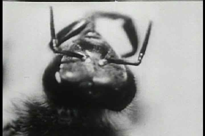 1950s - The life of a commercial beehive is shown, starting with the eggs and larvae and the new born bee