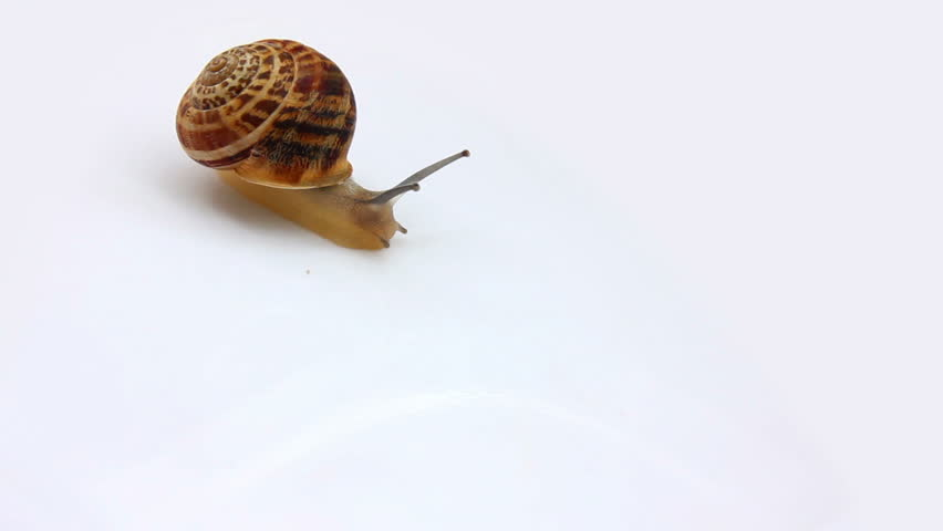 snail moving on white