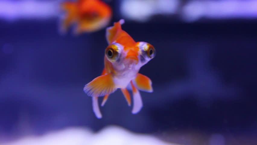 telescope goldfish in aquarium