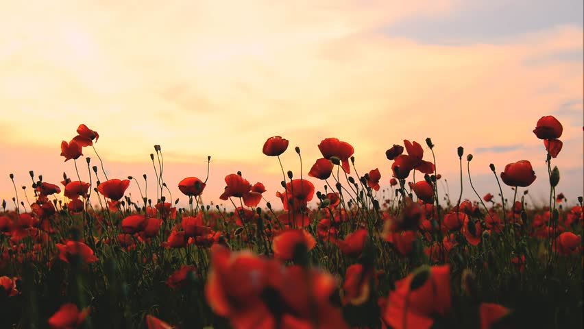 Field of poppies on a sunset | Shutterstock HD Video #3998491