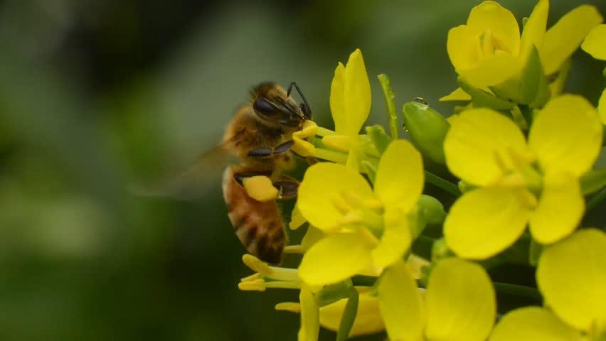 Header of honeybee
