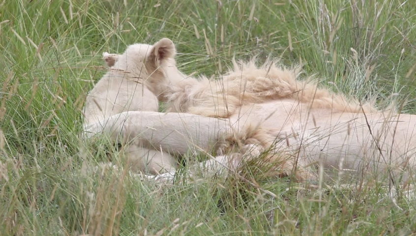 Lion cub tackles his dad round the neck