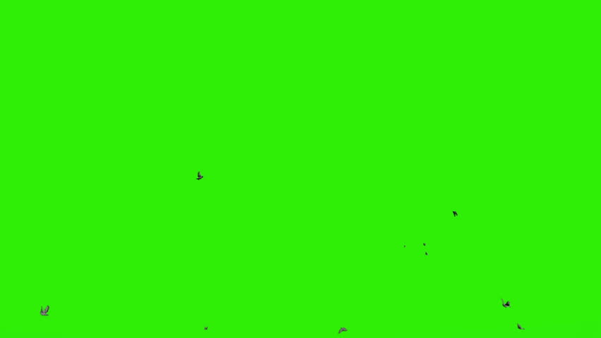 Pigeons flying against green screen, chroma key