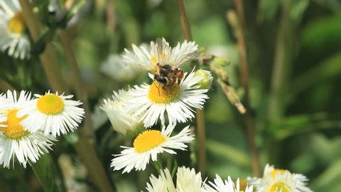 Some bees get pollen on daisies. Find similar clips in our portfolio.