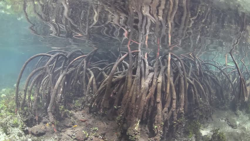 Prop roots descend from mangrove trees growing deep in a remote mangrove forest.  These specialized roots on red mangrove trees are adapted to growing in areas affected by tides.