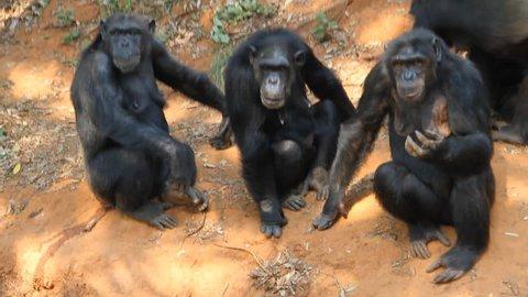 Family chimpanzees