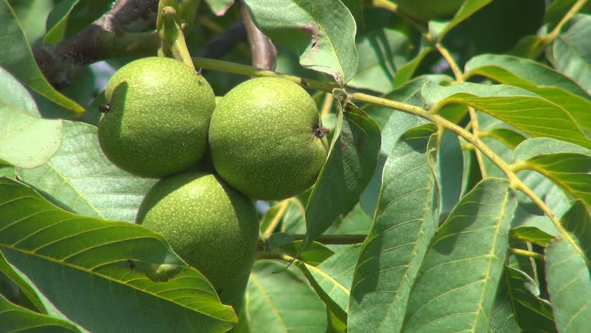 Unripe Nut Tree Branches, Agriculture, Stock Footage Video (100%  Royalty-free) 4198771 | Shutterstock