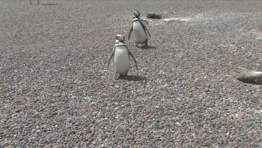 Magellan penguin from Punta Tombo Penguin Rookery, Punta Madryn, Chile