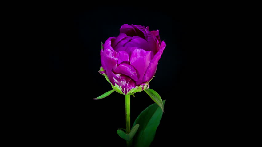 Timelapse of purple peony flower blooming on black background