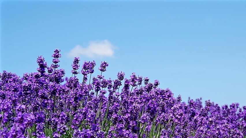 Lavender garden in a soft breeze