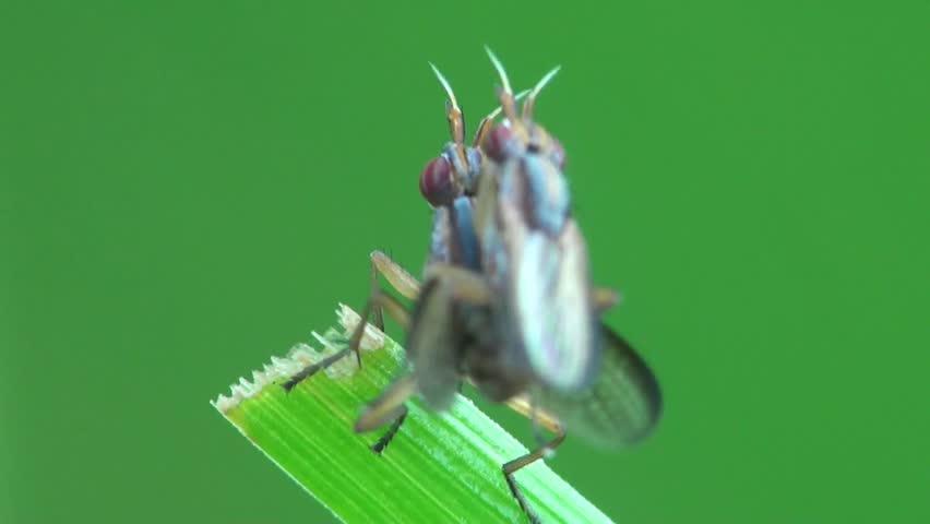 Header of Chloropidae