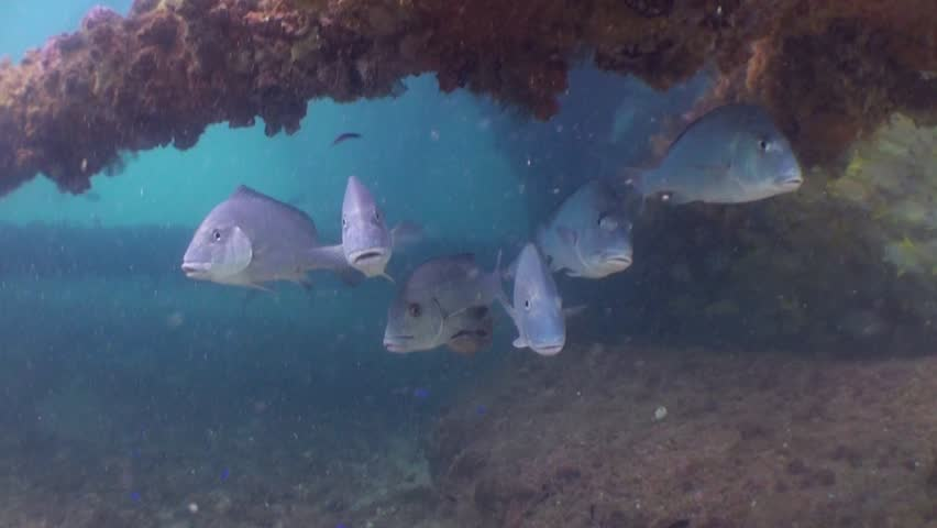 Snappers lined up getting cleaned under structure | Shutterstock HD Video #4315241