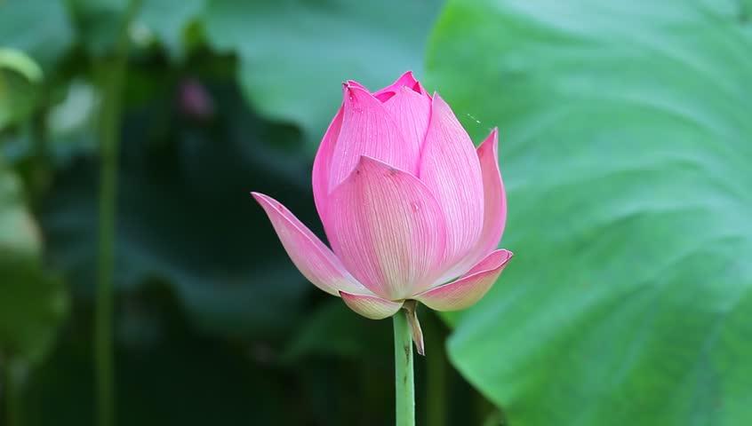 Blooming lotus flower in the stock footage video 100 royalty free blooming lotus flower in the stock footage video 100 royalty free 4325801 shutterstock mightylinksfo