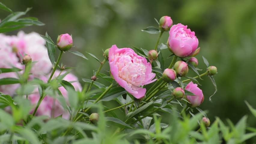 Chinese peony (Paeonia lactiflora 'Glorie de Ch. Gombault')