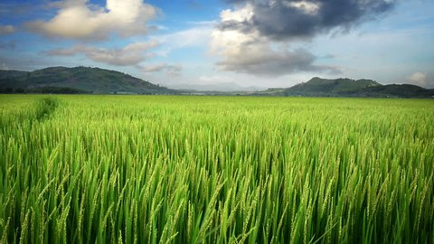Landscape of a beautiful green field with rice stalks swaying in the wind. Time lapse