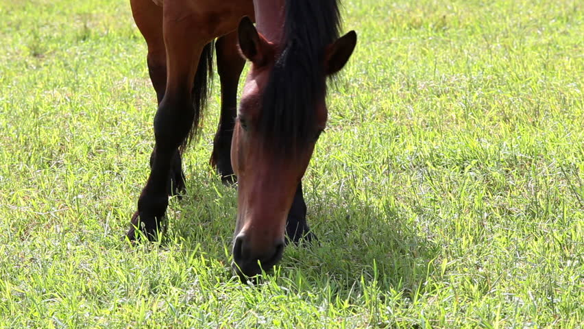 Chestnut horse eating lush grass, close-up view. See other videos with long timeline