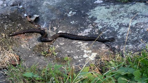 The Common European adder (Vipera berus), also called European viper. Moving slowly on a rock.