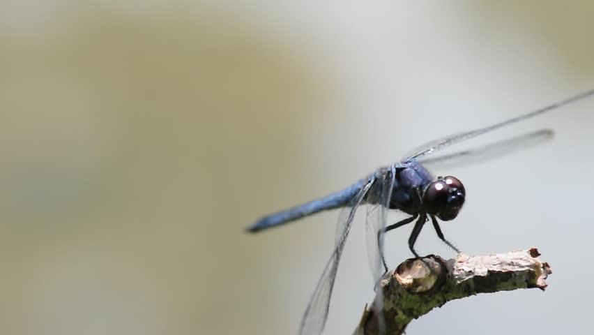 Dragonfly landing on a twig near a pond