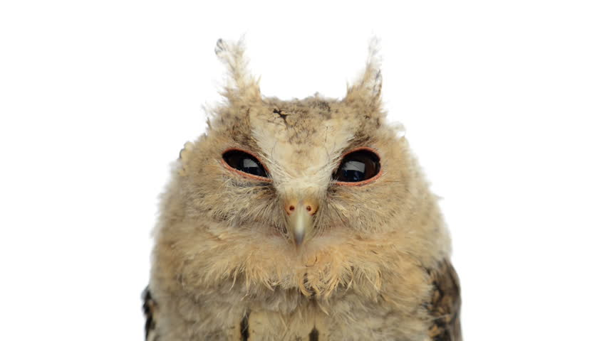 Close-up of an Indian scops owl looking at the camera