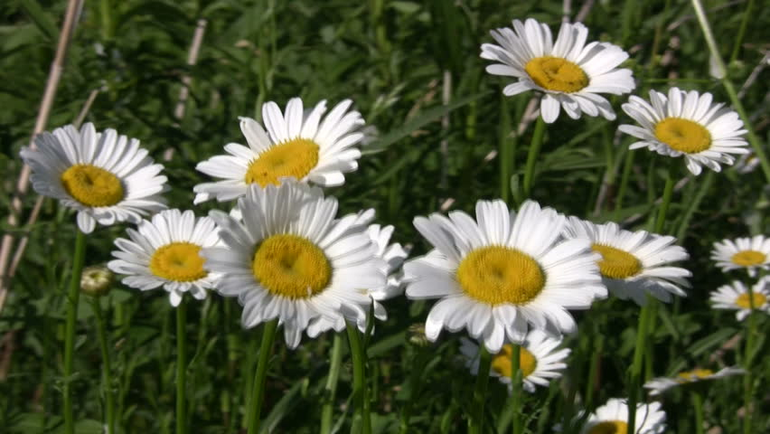 A Field of Wild Daisies Stock Footage Video (100% Royalty-free) 45151 |  Shutterstock