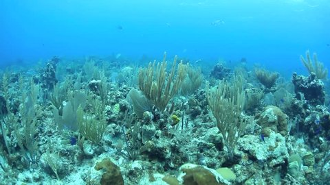 A diverse coral reef off of the east side of Grand Cayman is dominated by different species of gorgonians.  Grand Cayman is famous for its beautiful reefs and excellent scuba diving.