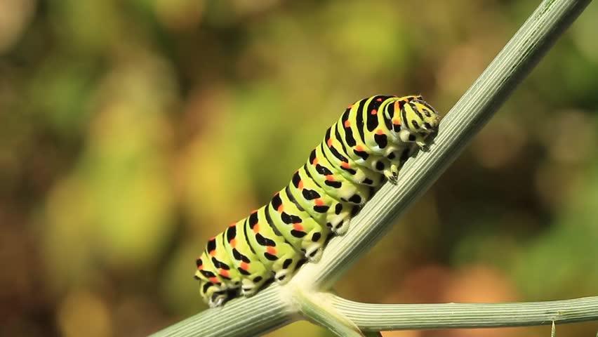 Swallowtail caterpillar moving