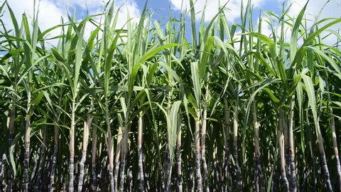 A sugar cane crop  in field ready for harvest