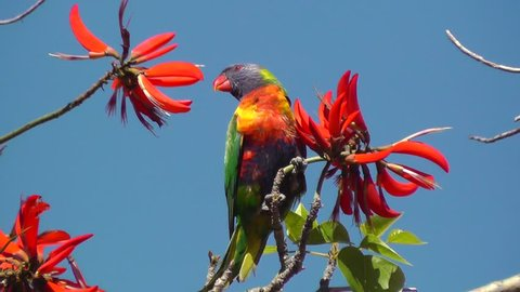 A Rainbow Lorikeet (Trichoglossus haematodus) - a colourful, medium-sized Australian parrot - feeding on the flowers of a Coral Tree (Erythrina sykesii) in Perth, Western Australia.