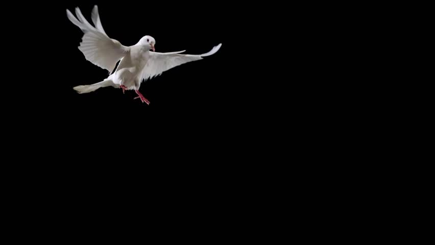 White bird flapping on black background shooting with high speed camera, phantom flex. #4629521