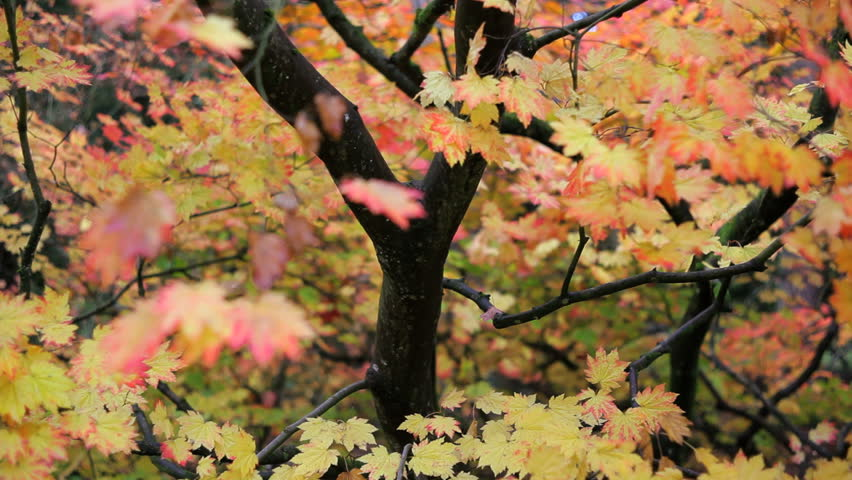 Autumn in Westonbirt and a Maple tree displaying the seasonal colour of its leafs, Gloucestershire, UK #4630661