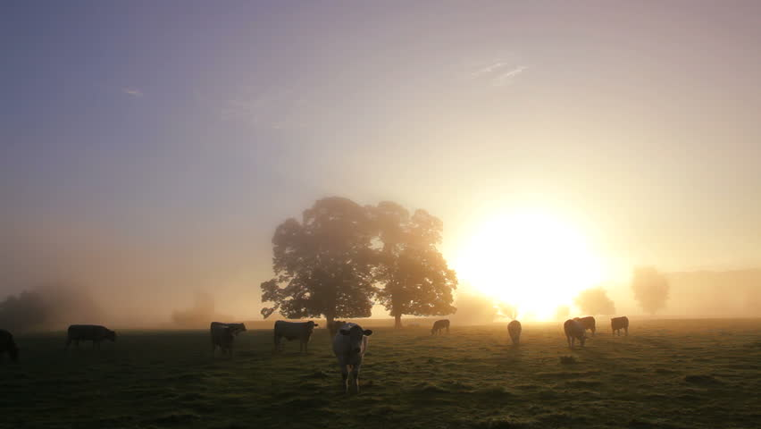 Close view of herd of cows grazing in a field in dawn mist in Usk Valley, South Wales, UK