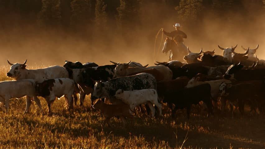 Cowboy herding cattle at sunset, slow motion