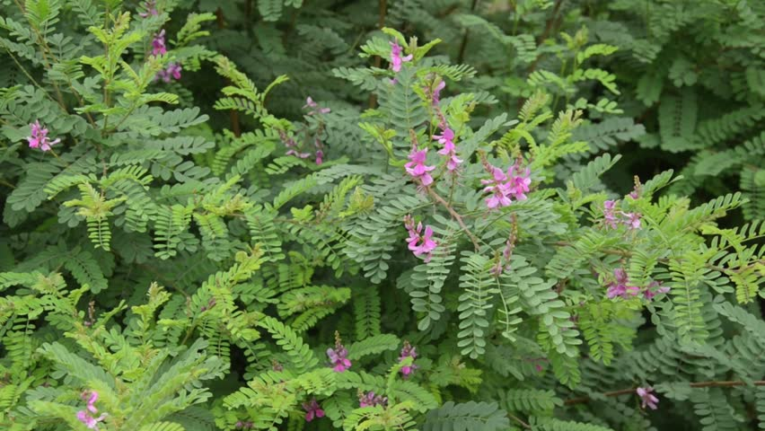 Header of Indigofera
