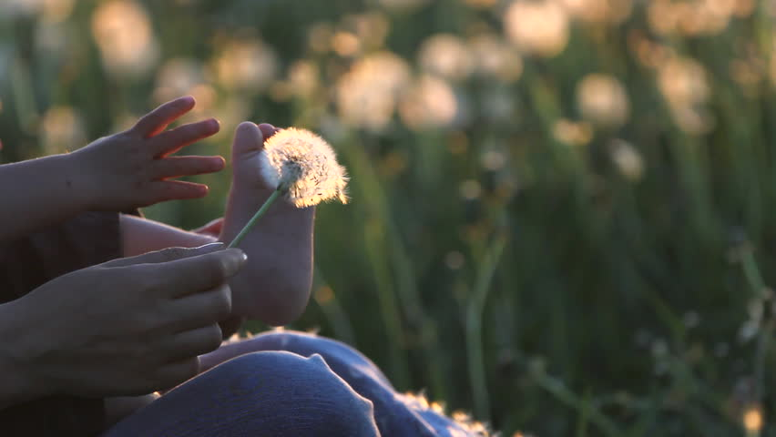 Baby and parent hands play with dandelion flower