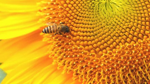 Sunflower and bee in happiness.