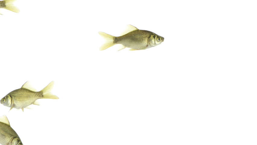 Group of goldfish swimming | Shutterstock HD Video #4797641