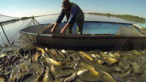 Commercial Fishing. Fisherman Pulling Fishing Net. Harvesting fish at fish farm.  Fishing Industry.