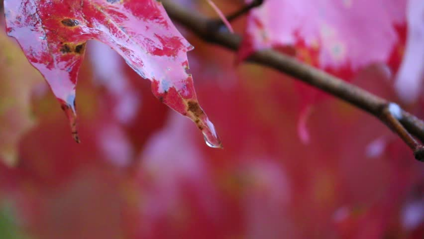 Stock Video Clip of Close-Up of Water Dripping Off Fall Colored ...