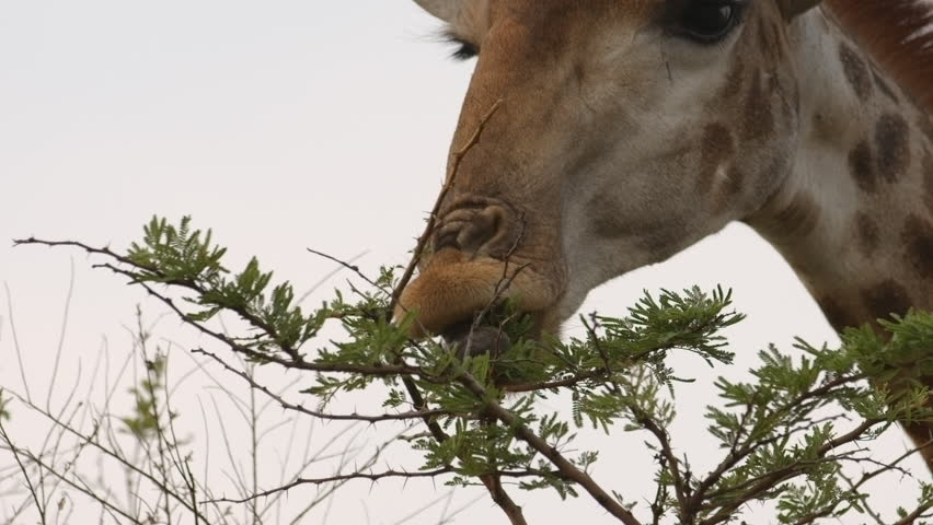Extreme close up angle of a Giraffe eating leaves from a tree