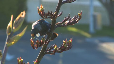 The Tui bird is native to New Zealand. Seen here are 2 tuis on a flax plant