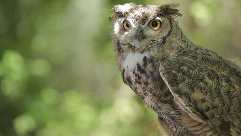 Watchful owl surveying its surroundings