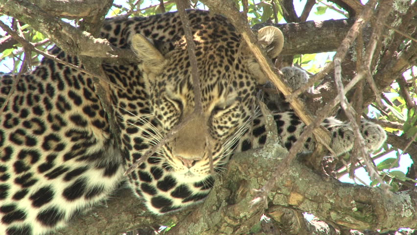zoom out of a leopard in a tree 1