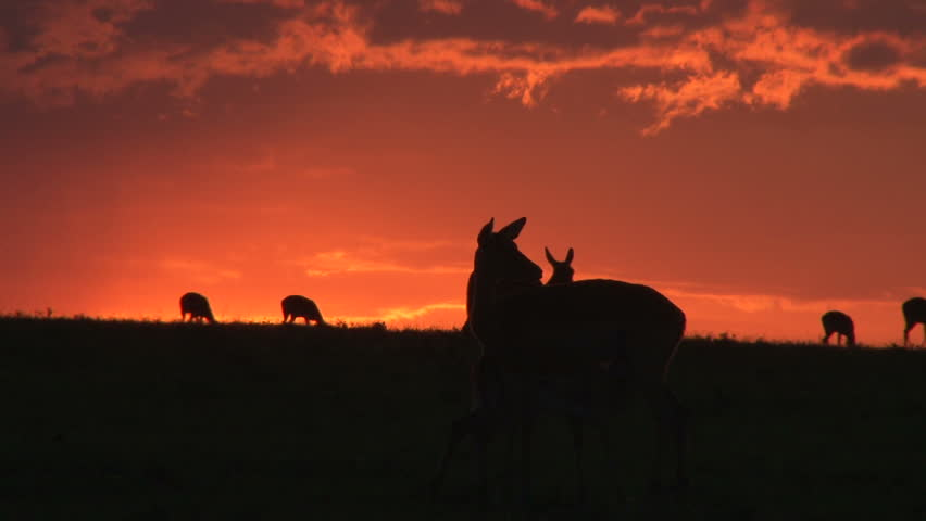 gazelles in a setting sun 2.