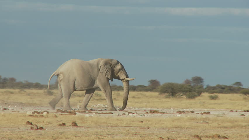 A lone bull elephant strides across the pans picking up dust with his trunk and blowing across his head