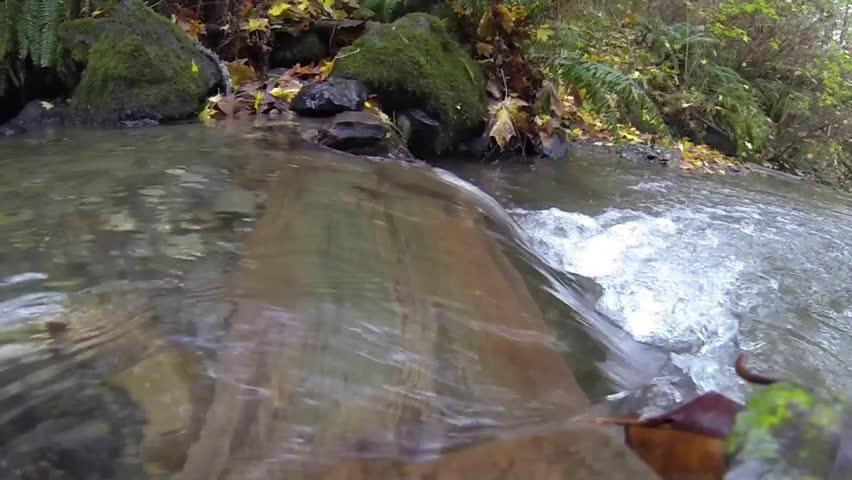 Slow motion wild salmon Chum run, Oncorhynchus keta
