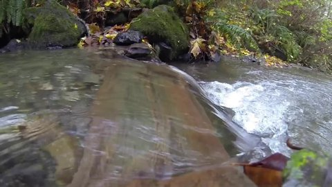 Slow motion wild salmon Chum run, Oncorhynchus keta